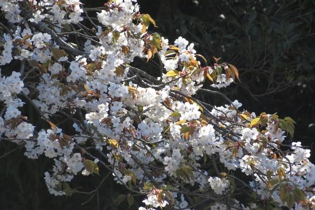 山桜3満開_8464