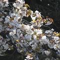 Photos: 山桜3満開_8464