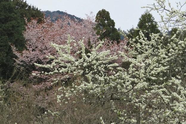 プラム&山桜_8484