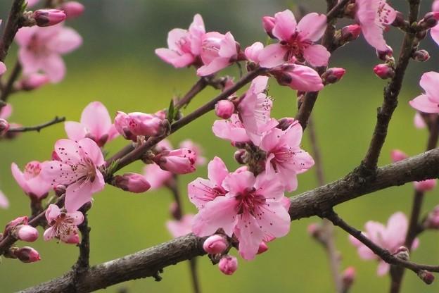 桃の花_8495