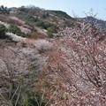 山桜(臼杵大岩)_8613