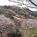 山桜(臼杵大岩)_8615