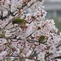 桜メジロ_8956