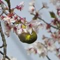 桜メジロ_9000