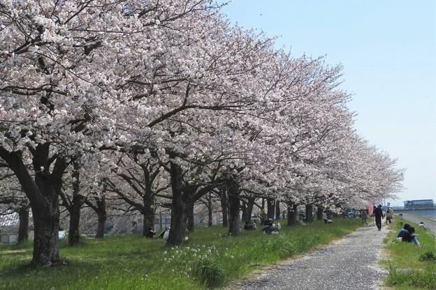 桜(大野川)_9021