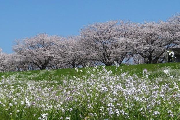 桜&ハマダイコン(大野川)_9028