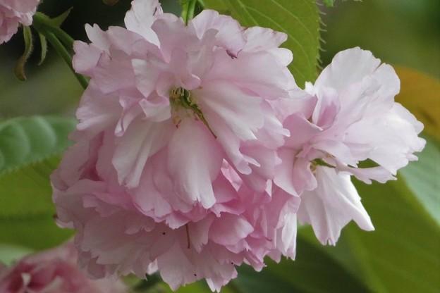 八重桜(一葉)_9437