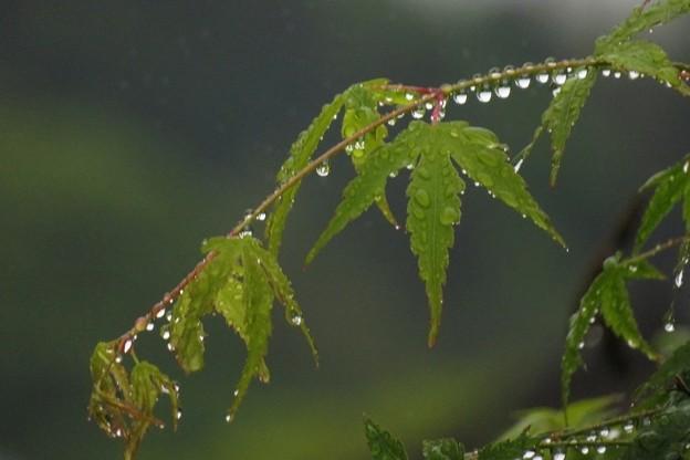 雨雫モミジ_0024