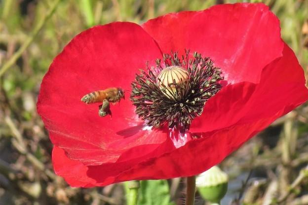 ヒナゲシ&蜜蜂_0536