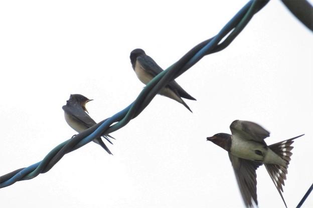 Photos: ツバメ幼鳥&親鳥_0789