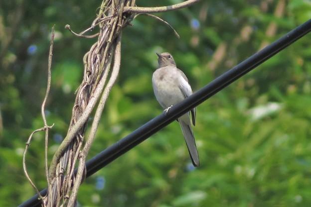 セグロセキレイ幼鳥_1016