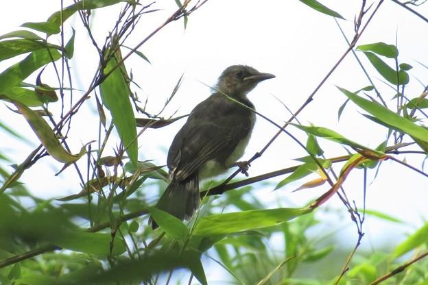ヒヨドリ幼鳥_1523