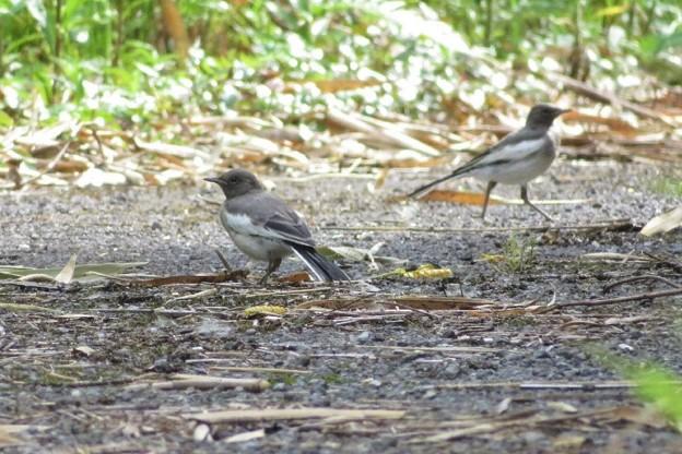 セグロセキレイ幼鳥_1542