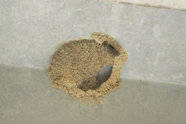 コシアカツバメの巣_2320