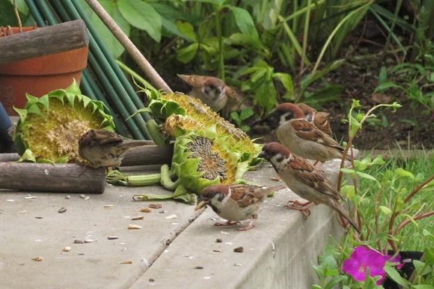 Photos: ヒマワリの種を食うスズメ達_3263