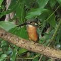 カワセミ♂幼鳥_3827