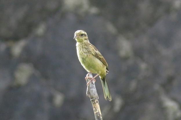 Photos: ホオジロ幼鳥_4069