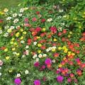 Photos: 花壇の花達_4098