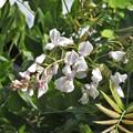 白藤狂い咲き_4193