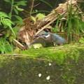 カワセミ幼鳥_4439