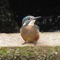 カワセミ幼鳥_4525
