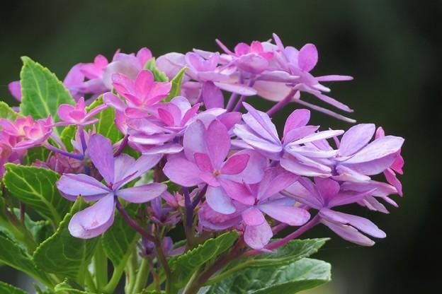 紫陽花狂い咲き_5065