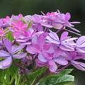Photos: 紫陽花狂い咲き_5065