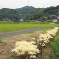 Photos: リコリス2度咲き_5338