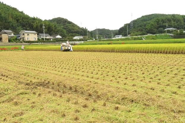 稲刈り_5390