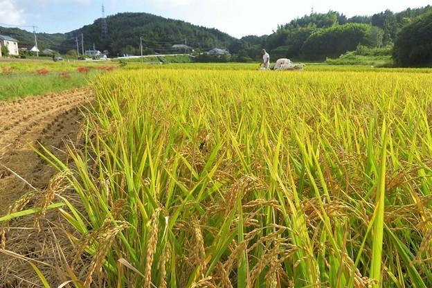 稲刈り(実家)_5581