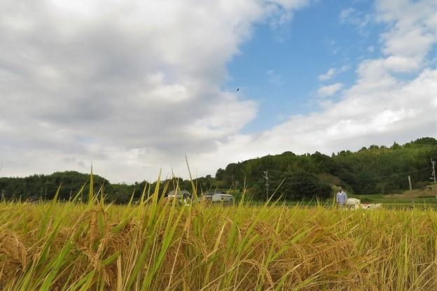 稲刈り_5657