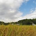 Photos: 稲刈り_5657