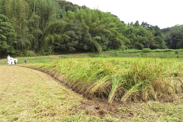 稲刈り_5661