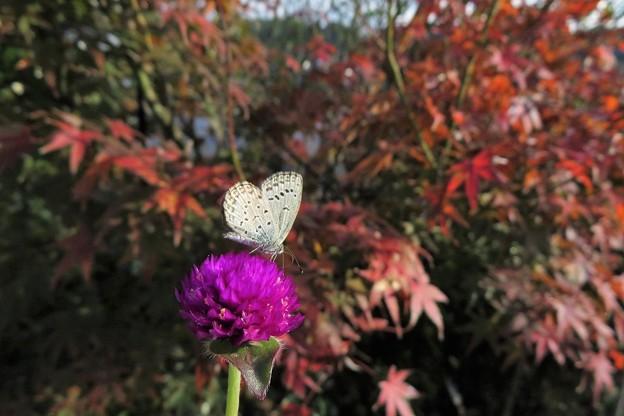 Photos: ヤマトシジミ♂_7381
