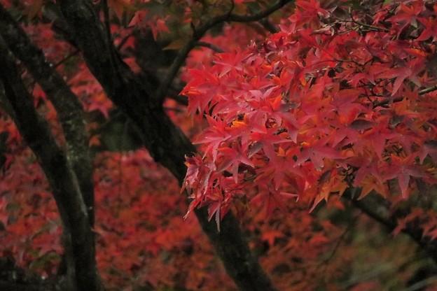 Photos: モミジ紅葉(公園)_7473