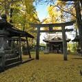 Photos: イチョウ(阿蘇神社)_7490