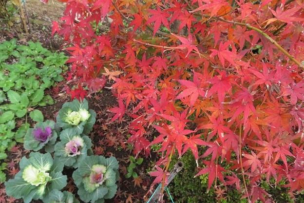 Photos: モミジ&葉牡丹_7607