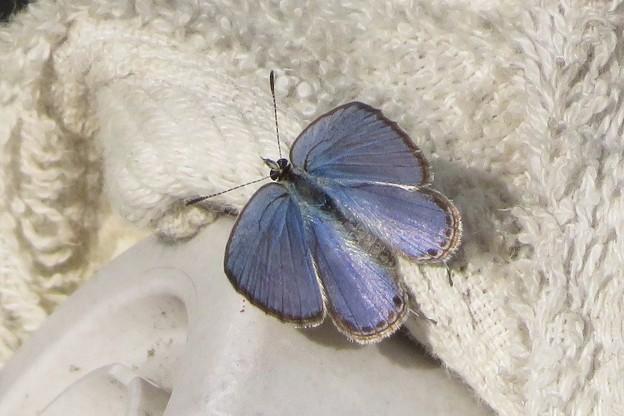 クロマダラソテツシジミ♂_7616