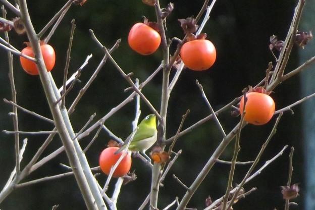 小柿メジロ_7743