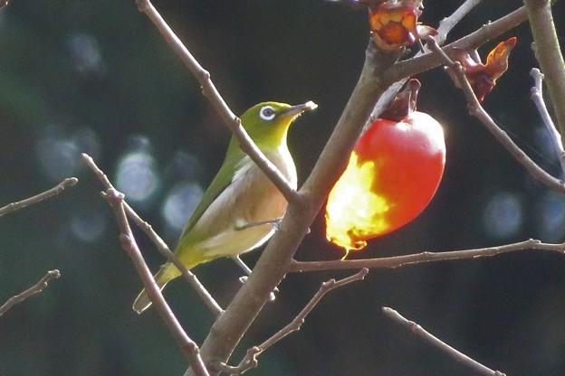 小柿メジロ_8111