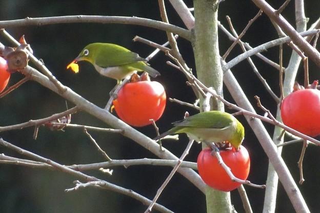 小柿メジロ_8117