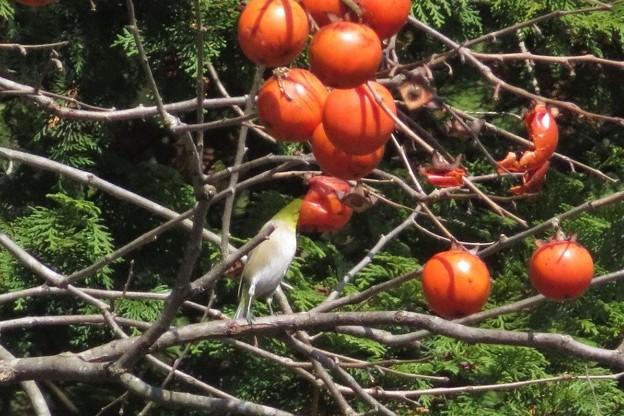 小柿メジロ_8432