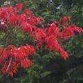 ハゼノキ紅葉&雨_8559