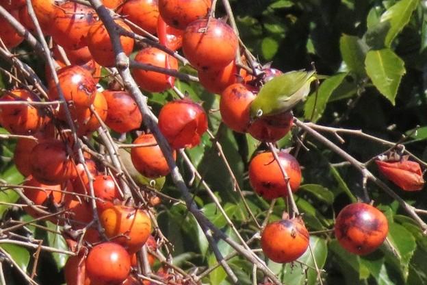 小柿メジロ2羽_8610