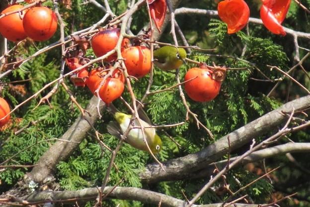 小柿メジロ2羽_8708