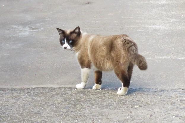 タヌキ猫のタマちゃん_9736