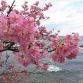Photos: 河津桜&海_9825