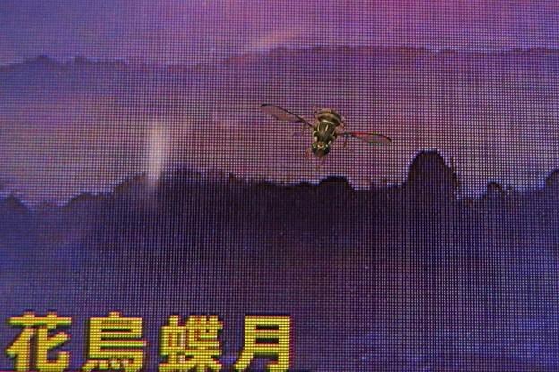 小さな蜂(モニター画面)_0032