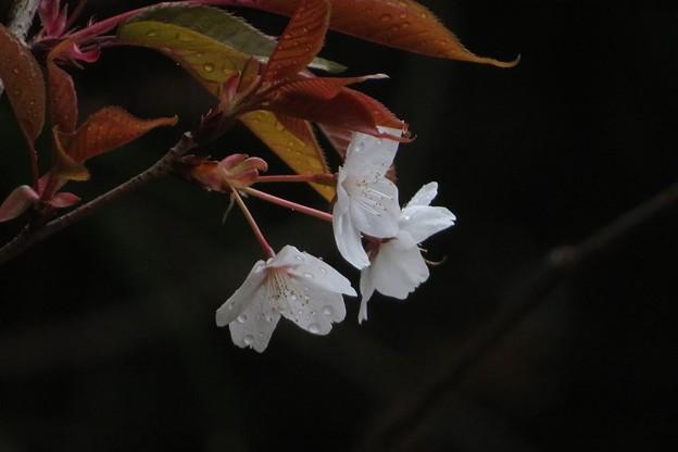 山桜_1189