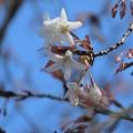 山桜1_1426